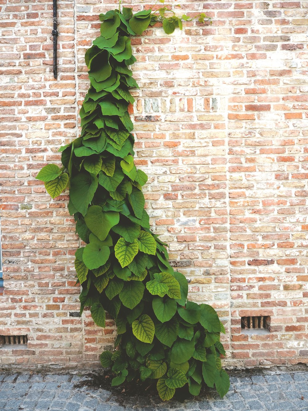 Just a nice Bruges vine photo so you aren't overwhelmed by how large the vertical photos get in this blog.