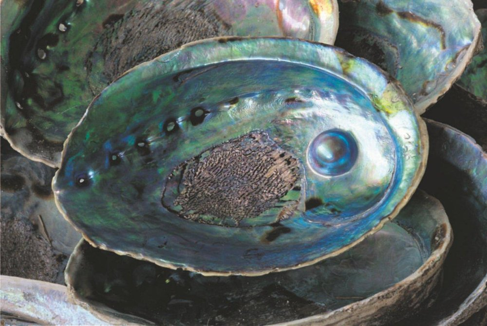 Blue Pearl Mabe in whole shell.jpg