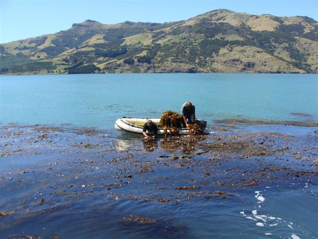 Giant Kelp Harvesting 084.jpg