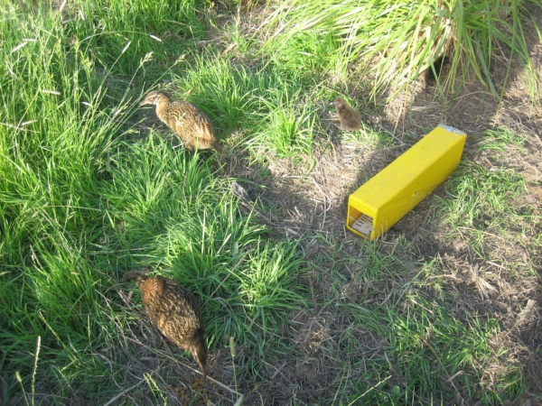 Weka in predator proof reserve