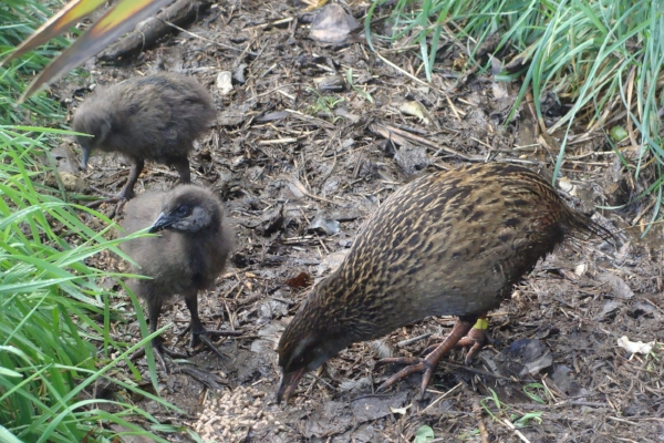 Weka and chicks at Lansdowne Valley