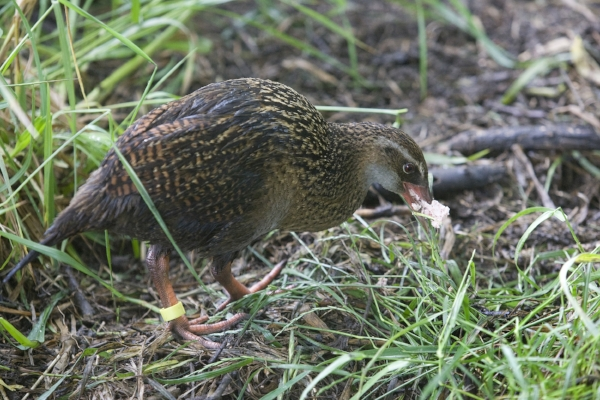 Weka eating chip at Lansdowne