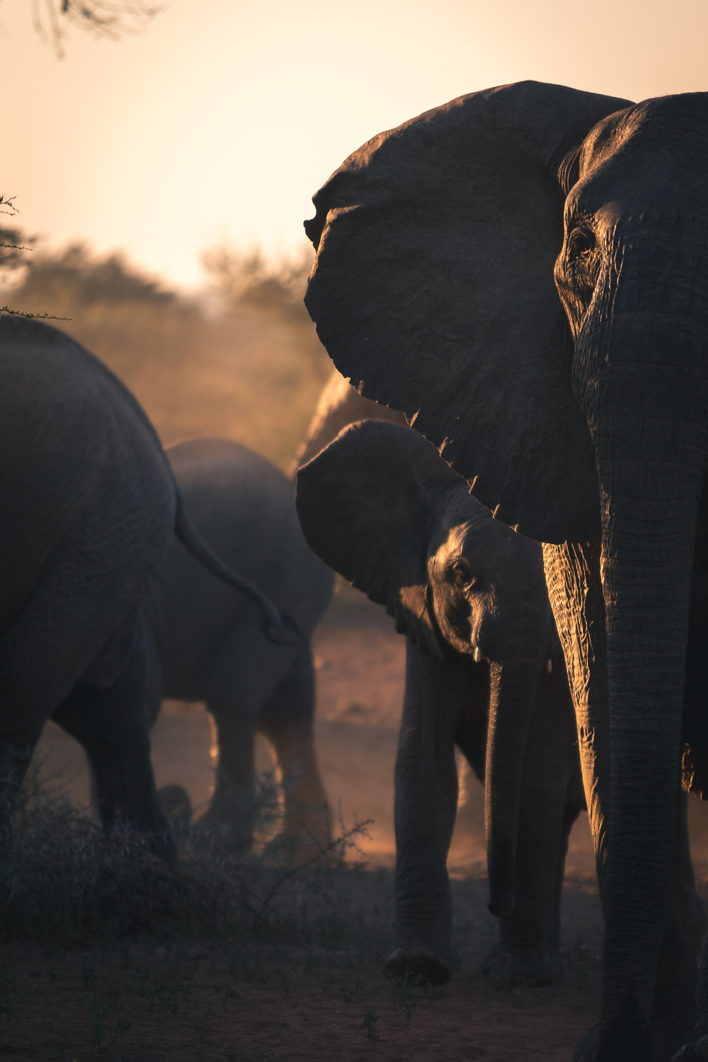 Female elephant and baby elephant stare at camera during sunset