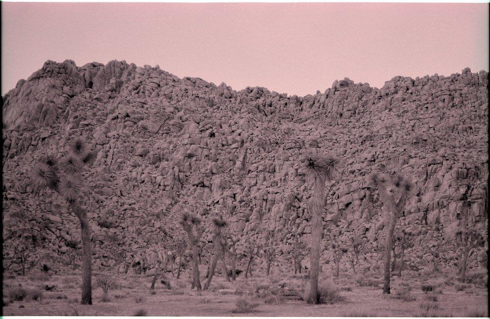 joshua tree, tree museum