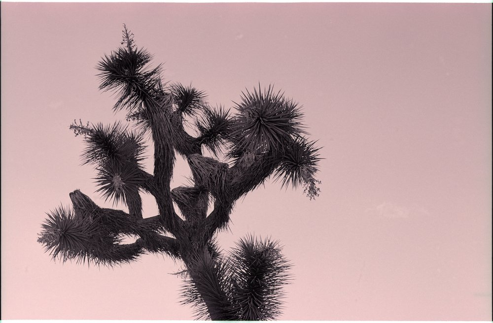 joshua tree, joshua tree