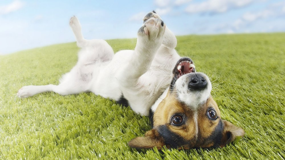 hd-dog-wallpaper-with-a-dog-on-his-back-on-the-grass-hd-dogs-wallpapers-backgrounds.jpg