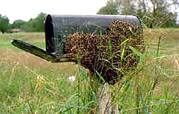 honey-bee-swarm-resting-on-mailbox.jpg