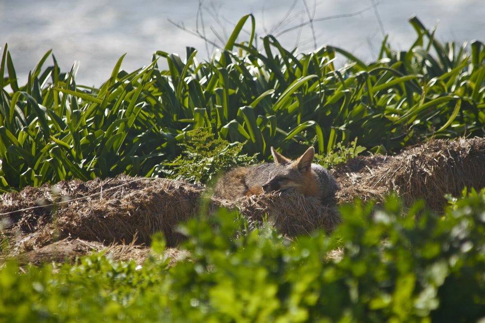 fox_ nature.jpeg