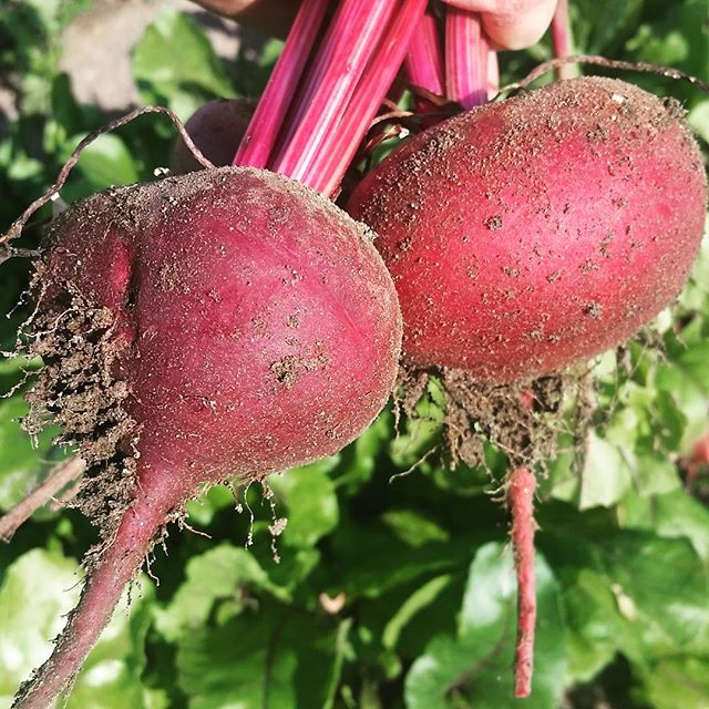 Pun alert!  Check out our fat beets! Early Wonder Tall Tops.  #pun #beets #organicreno #nevadagrown #keepitlocal #marketgardener #earlywondertalltop
