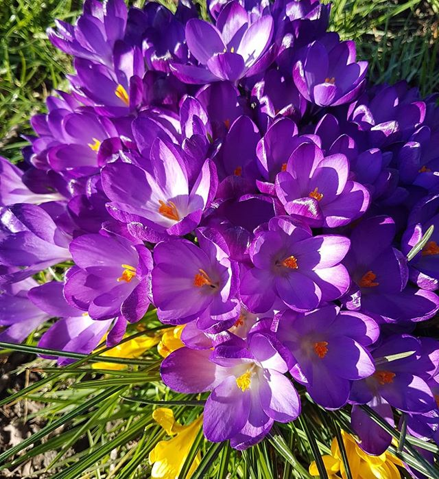 Crocuses planted on Norwood Rec, Crystal Palace. To whichever genius planted them all along the line of poplar trees, I'd like to say thank you as they really cheered up an exhausting run I was attempting, where I felt like I was carrying somebody else.  I do worry about the fact that it'll be 15 degrees Celsius later today, IN FEBRUARY. At this rate these flowers won't survive the week. Climate change scares the living shit out of me. Kids who speak out about it, such as @gretathunberg Greta Thunberg are inspirational. . . . #crocuses #spring #flowers #february #climatechange #SE19 #norwoodrec #crystalpalace #london #londonlife #globalwarming #nature #saveourplanet #savetheplanet #gretathunberg #environment #nofilter #nofilterneeded #purple #beauty