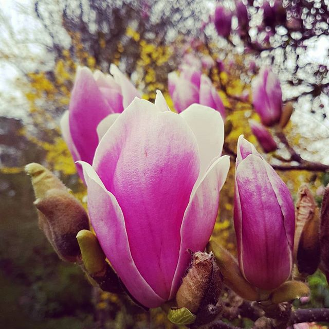 Magnolias: apparently you can eat them, according to food sorceress @dethample. Perhaps tempura the petals in crispy batter? Put them in a pad Thai?! Steam them like an artichoke and dip? Calling food experimentalists @blanchandshock - can you use some flowers? I have LOADS. . . . #magnolia #flowers #ediblegarden #gardens #spring #forage #foraging #eattheseasons #nature #in2nature #thefloralseasons #flower #flowers #petalsandprops #signsofspring #London #flowerslovers #flowerpower #flowersofinstagram #flowermagic #british #floweroftheday #flowerstagram #flowerlovers #flowerphotography #flower_daily #flowergram #March #photography #igphoto