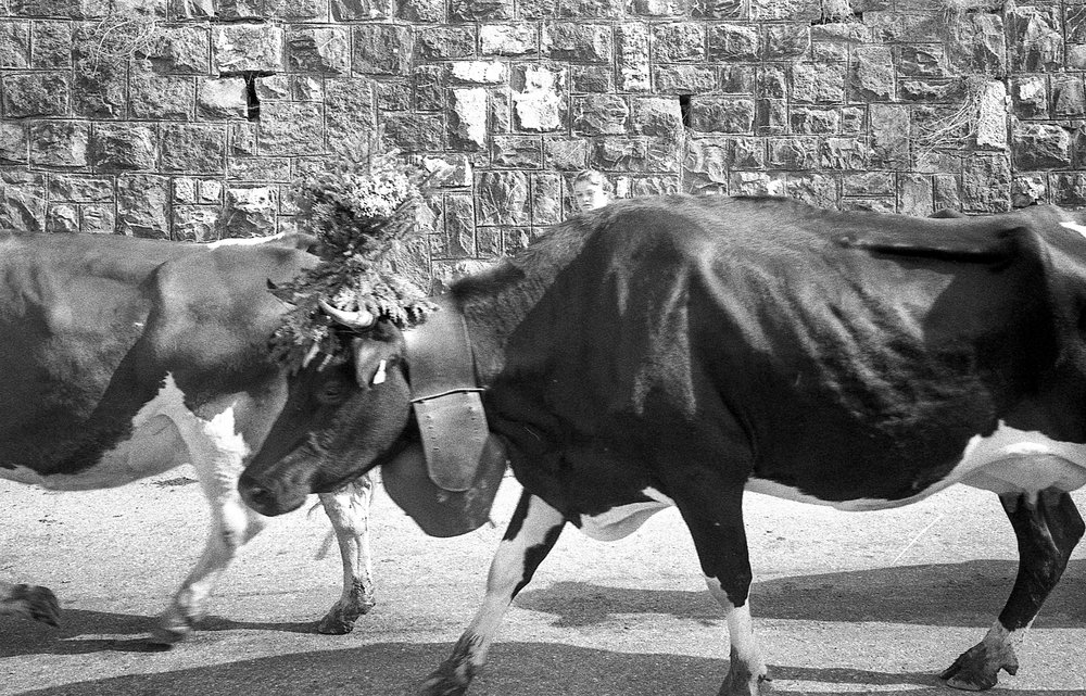 "A girl walks the ""Queen of the herd"" down from the highlands during the Des Alpes festival. Des alpes is a celebration that happens when the cows descend from the alpine environment to the valley. Switzerland.  Film: Tri-X 400,"