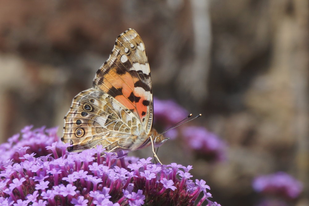 Painted Lady feeding on  Verbena bonariensis  in the front garden