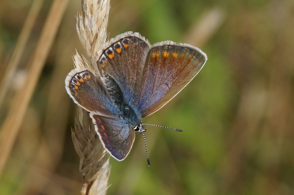 Female Common Blue
