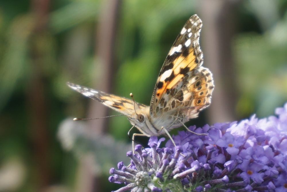 Painted Lady on buddleja