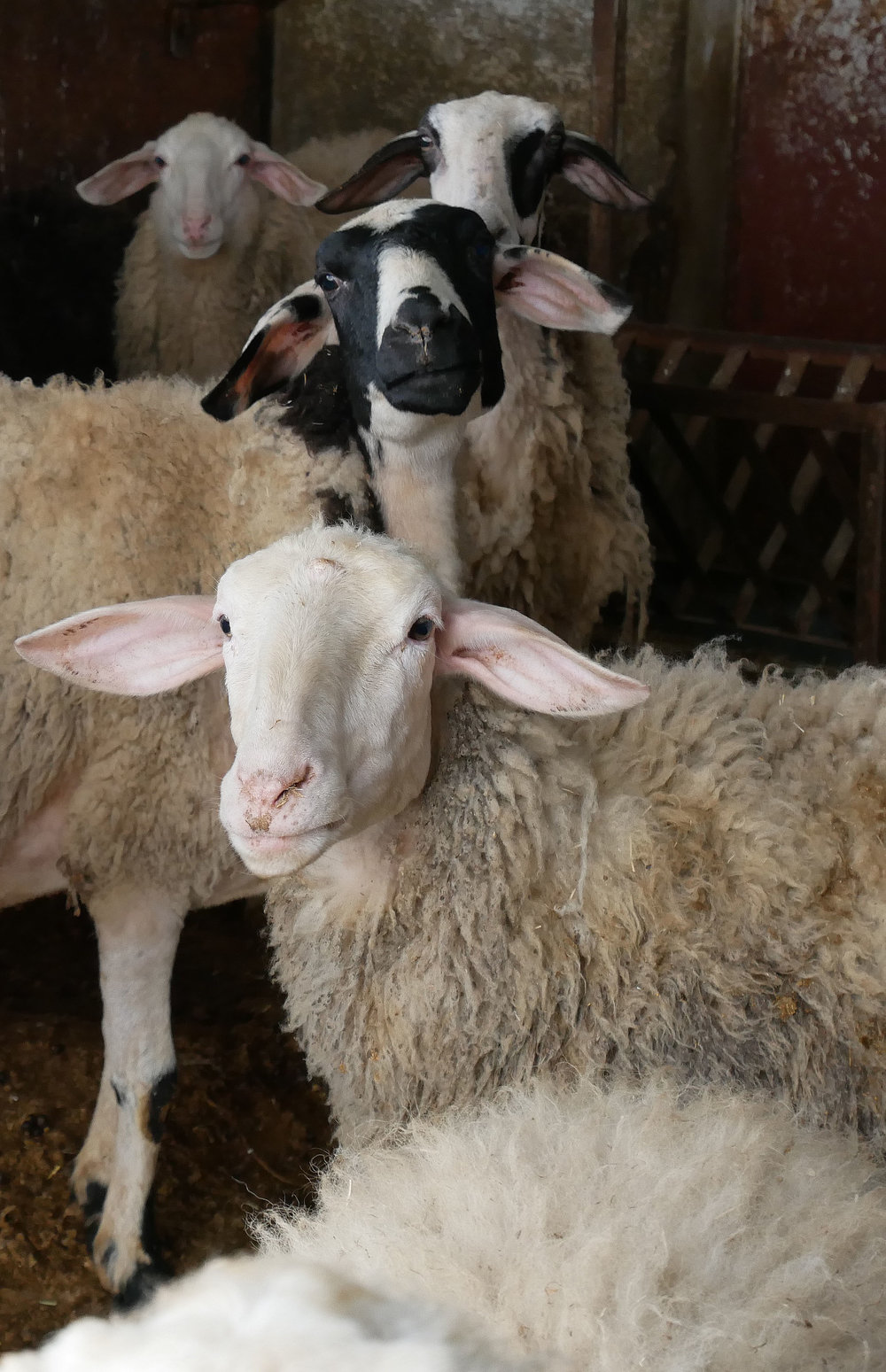 Awassi sheep in a household in the town of Samoa - West Bank