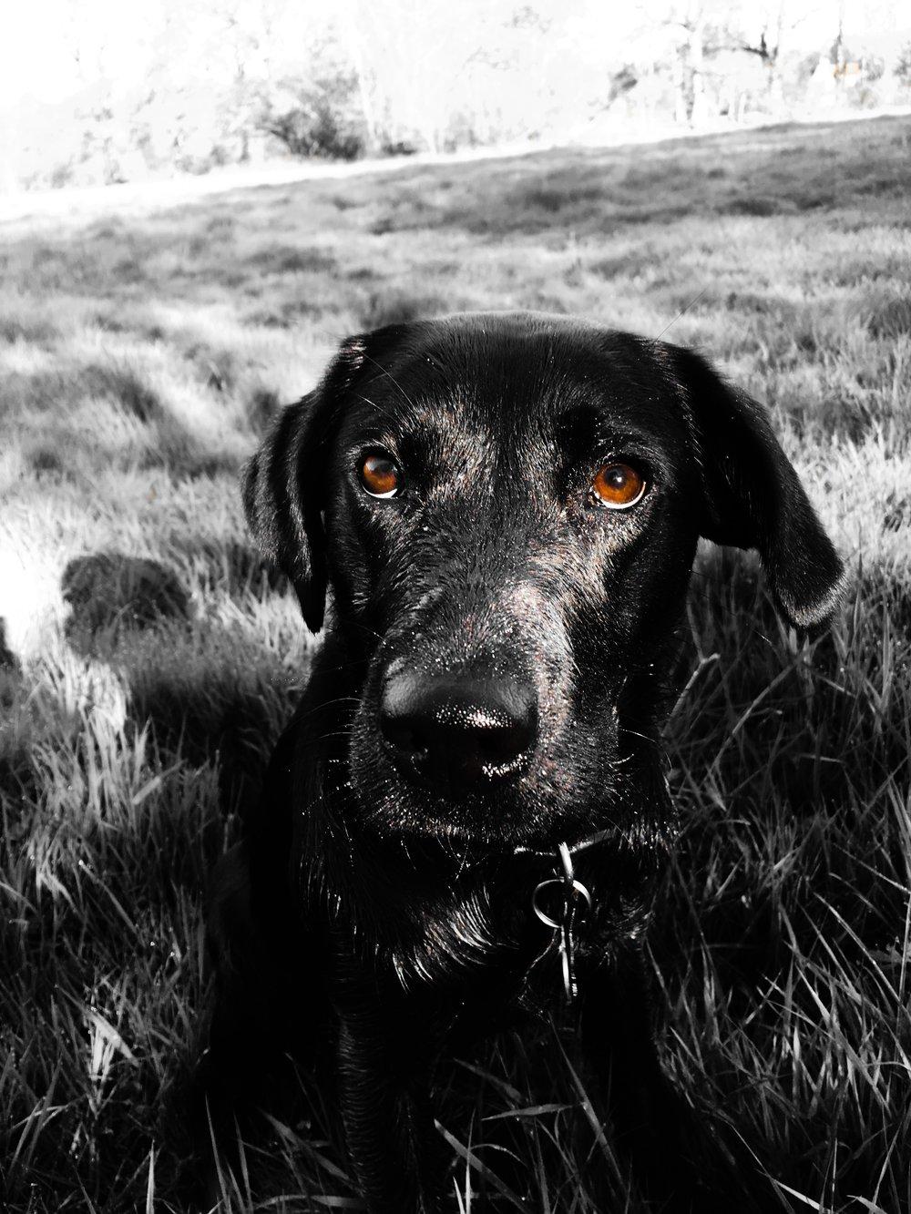 Kraken - Black Labrador