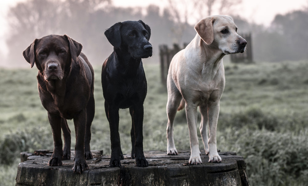Labrador Love - Will the breed fit your lifestyle?