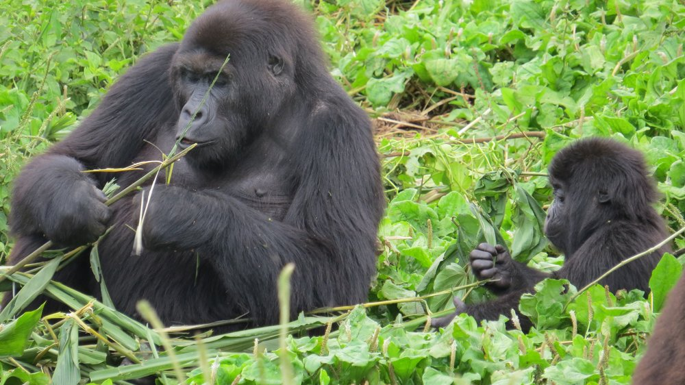 GRACE_gorillas feeding.jpg