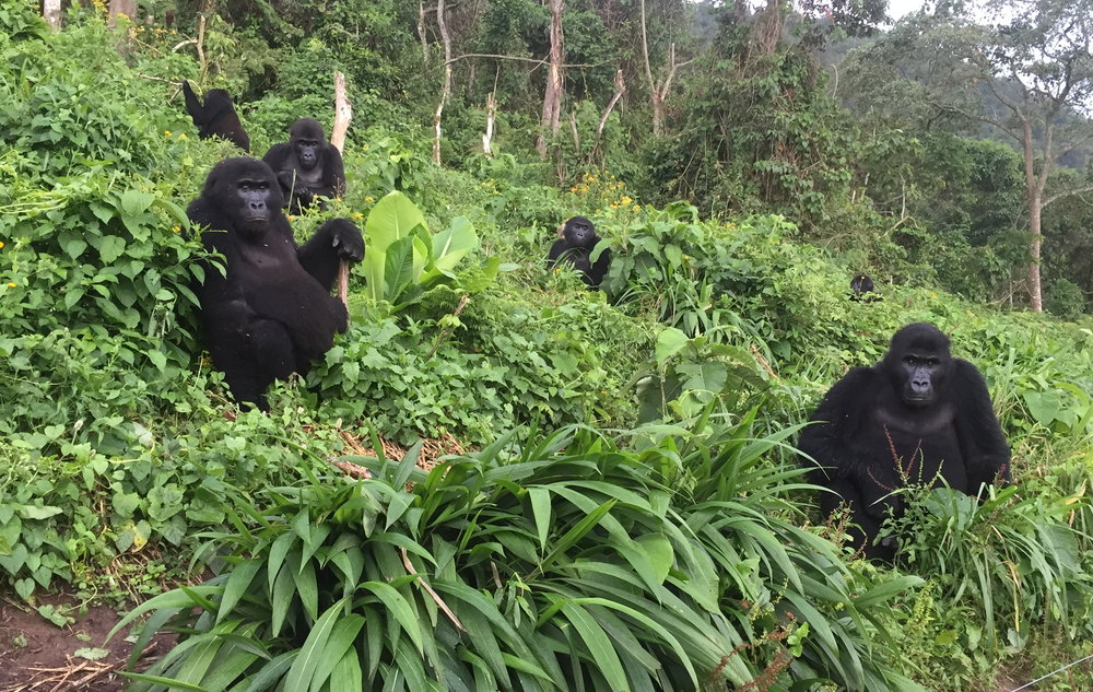 GRACE_gorillas in forest.JPG