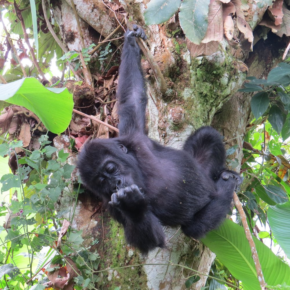 GRACE_gorilla in tree.jpg
