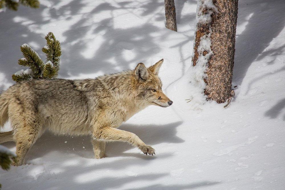 Snow-Nature-Wilderness-Coyote-Wildlife-Predator-1901993 (1).jpg