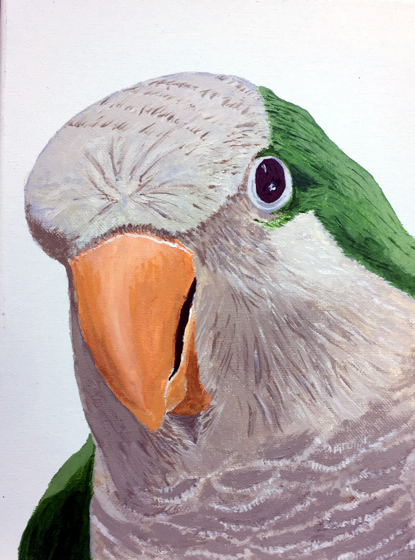 Baby, Quaker parrot