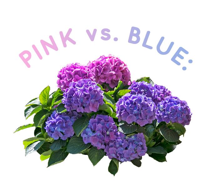 pinkvsblue.jpg