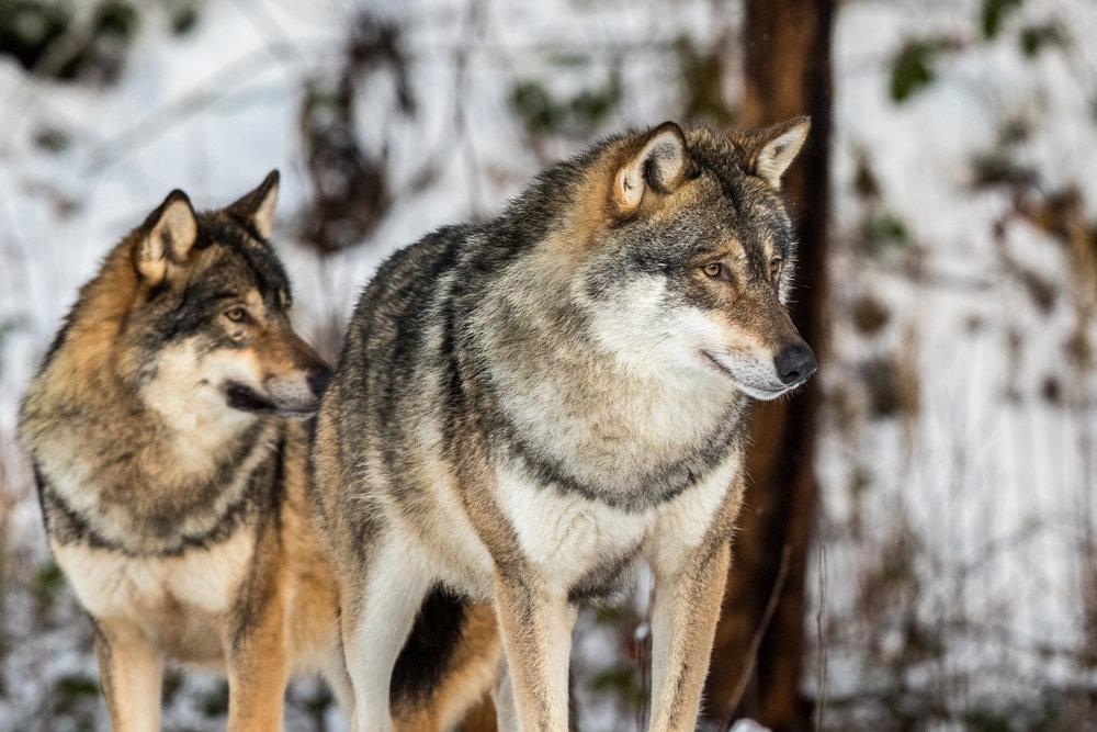 Two wolves.jpg