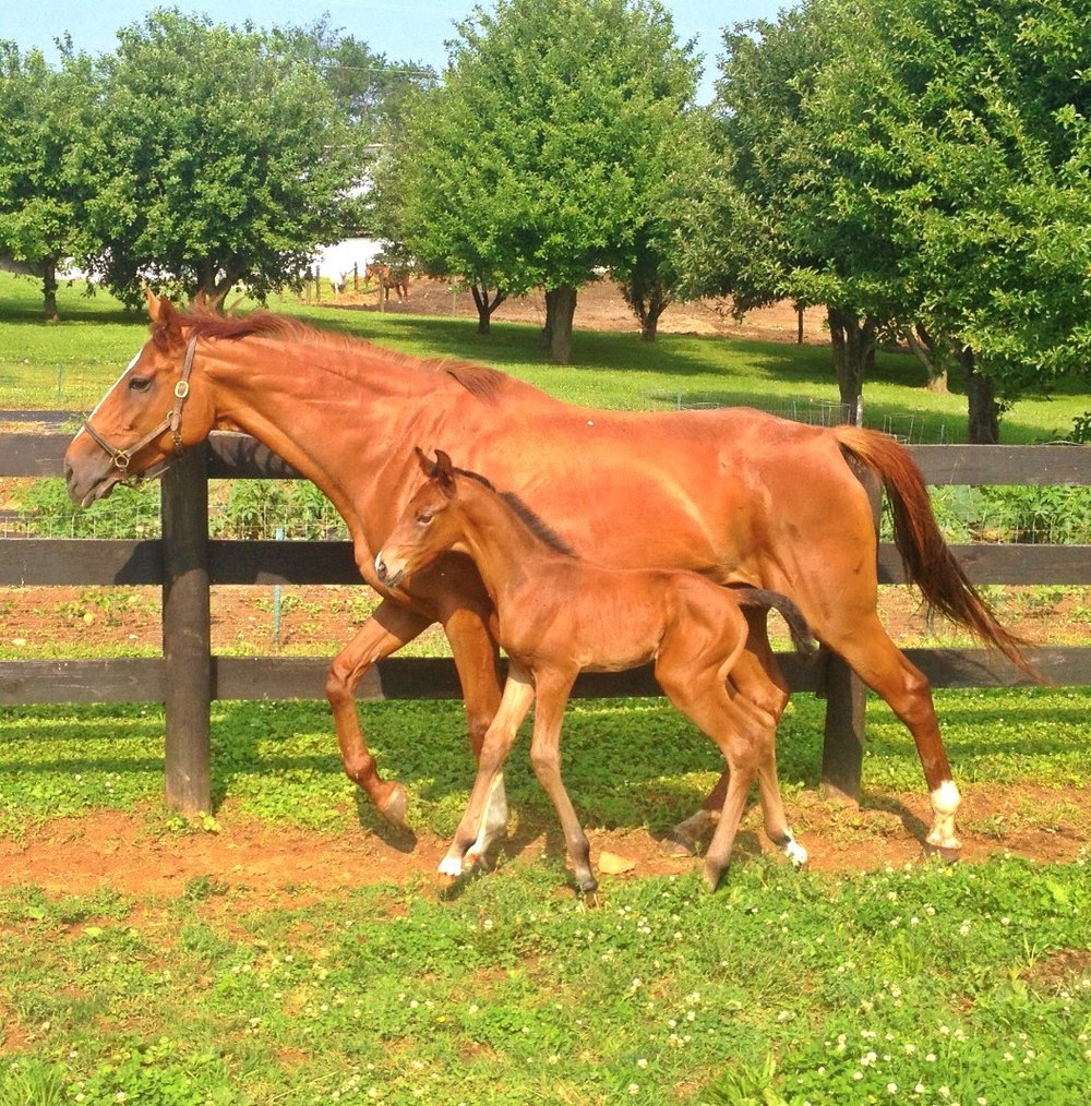 A Thoroughbred Mare (Leave a Tip) with her 3/8 CB filly by Belladonna Quasar, 3/4 CB Stallion.  The filly is Bellavista Burberry, the second of this cross.