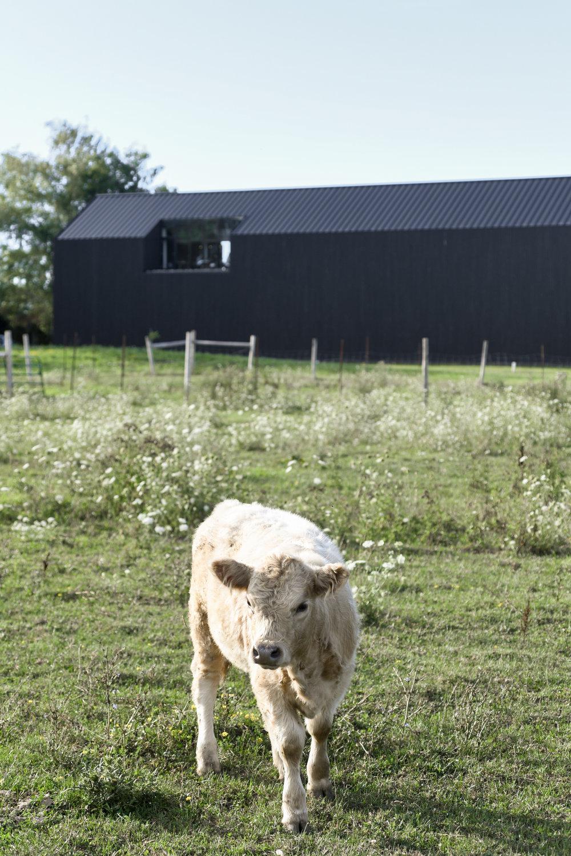 Pearl Morissette Winery Barn - Bovine