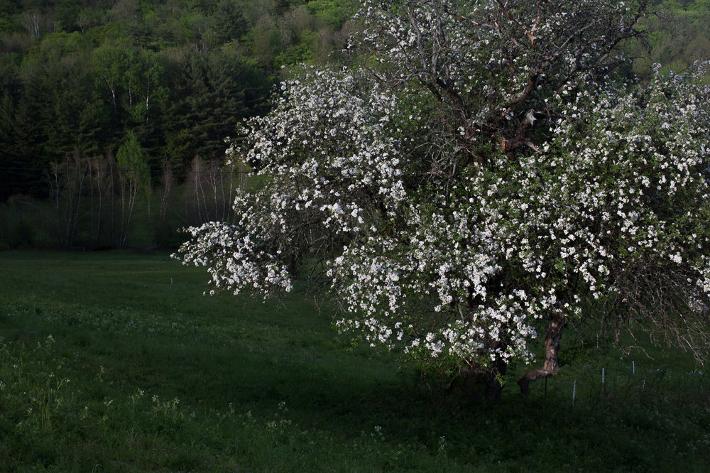 Stitchdown Farm apple blossoms