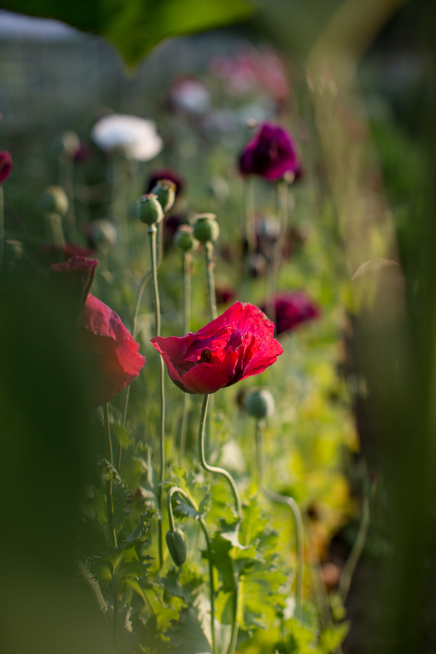 Vermont Grown Oriental Poppy