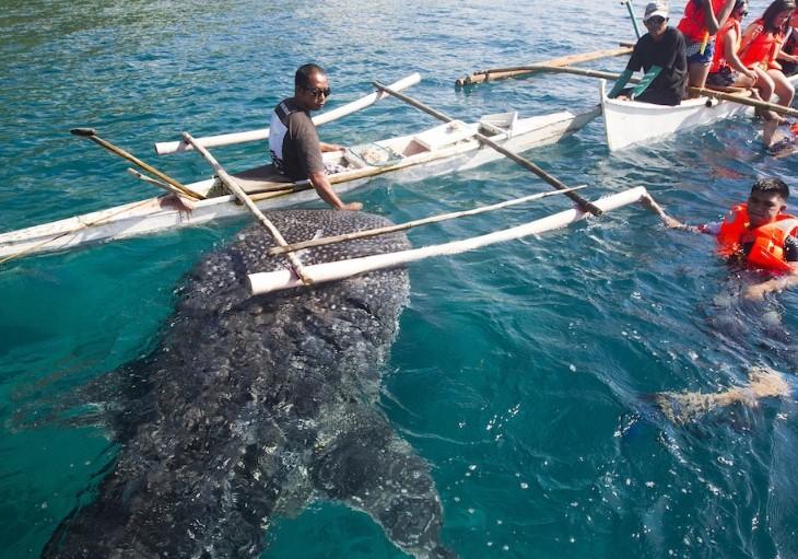 Whale Shark feeding Oslob