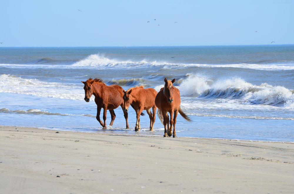 Wild Stallions on Carolla Beach; Outer Banks, North Carolina; 2011 photo credit: Lina Jacobs