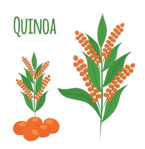 quinoa clip art.png