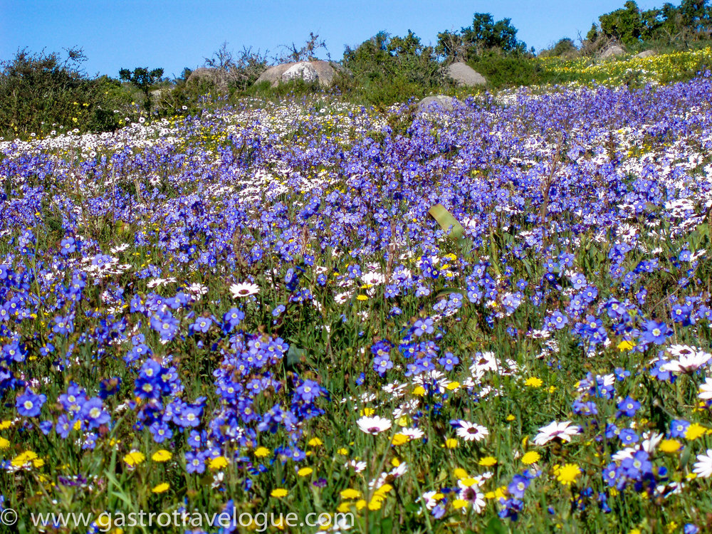 6 Spectacular Places You Must Visit In South Africa: A Local's Perspective. West Coast Flowers, South Africa.