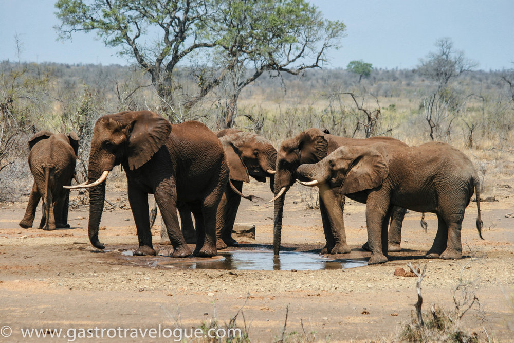 6 Spectacular Places You Must Visit In South Africa: A Local's Perspective. Kruger National Park Elephants, South Africa.