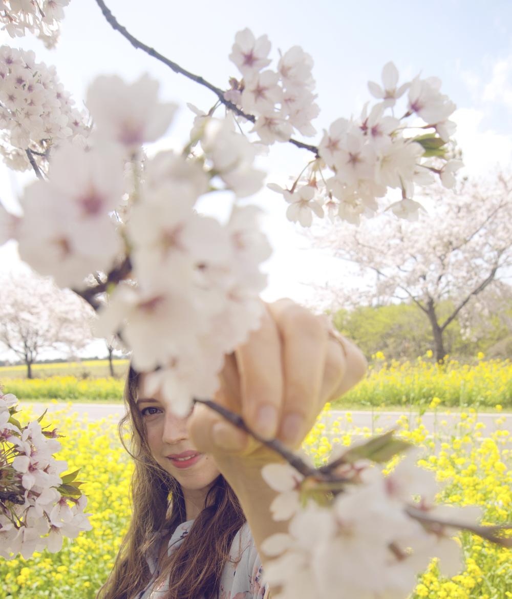 cherry-blossom-flower-season-jeju-island.PNG