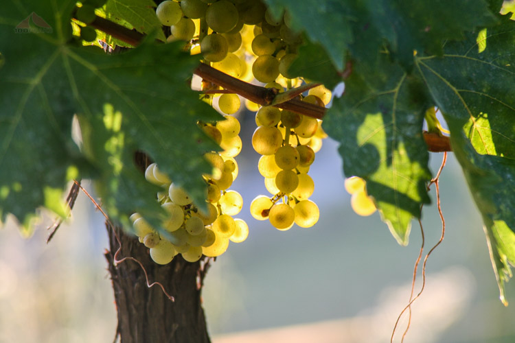 Tuscan white grapes