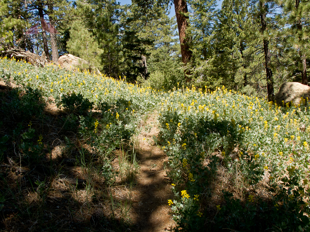 Flowers along the trail back to the Reyes Peak Trailhead