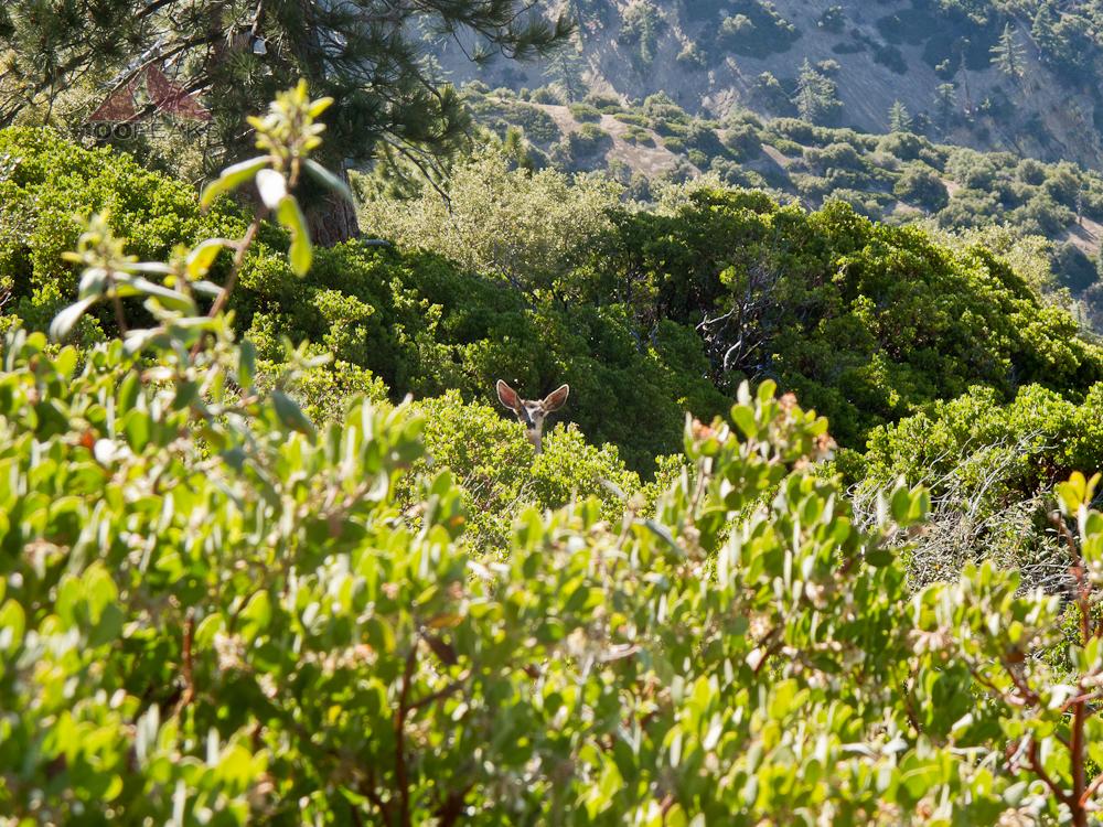 Peeking Deer near Reyes Peak