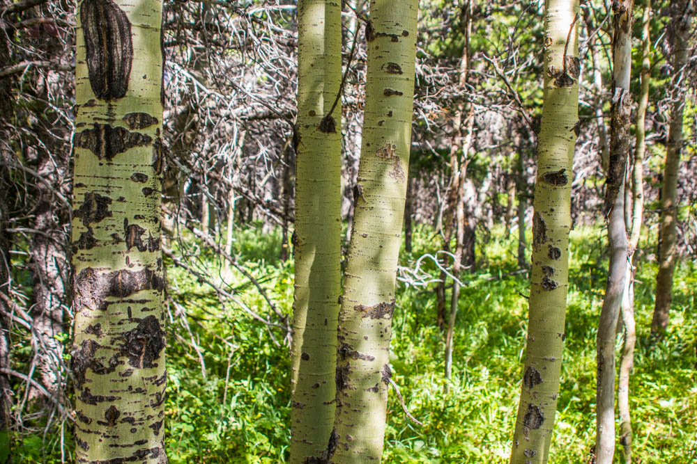 Trees along the Swiftcurrent Lake Loop Trail