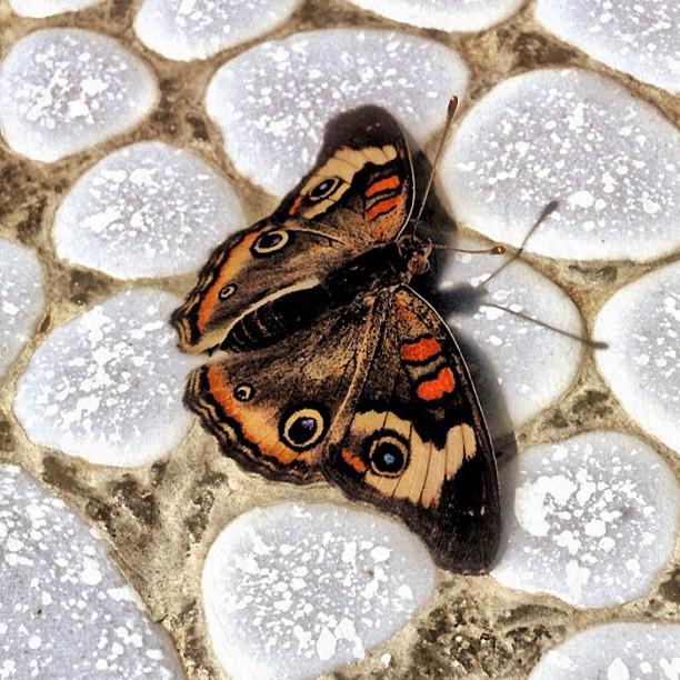 Buckeye Butterfly at Santa Barbara Museum of Natural History