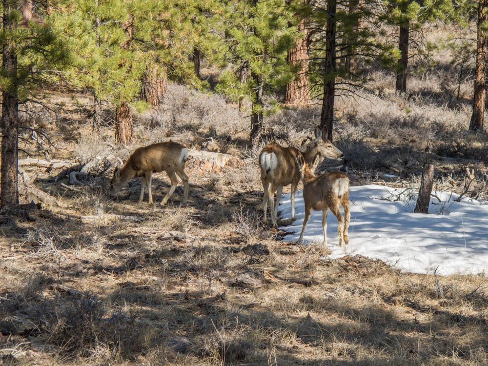 Mule Deer at Bryce Canyon