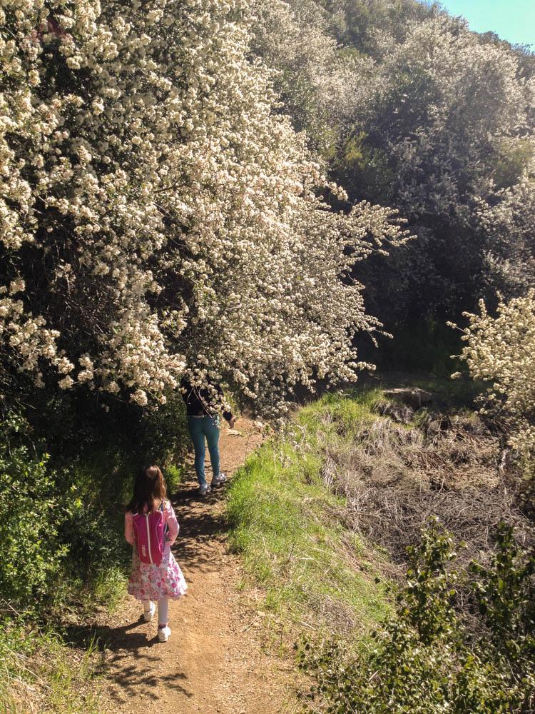 The Santa Barbara Snow, or ceanothus, is in full bloom