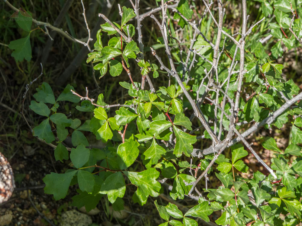 Not Poison Oak