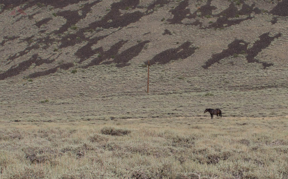 Campito, the lone wild horse of the White Mountains