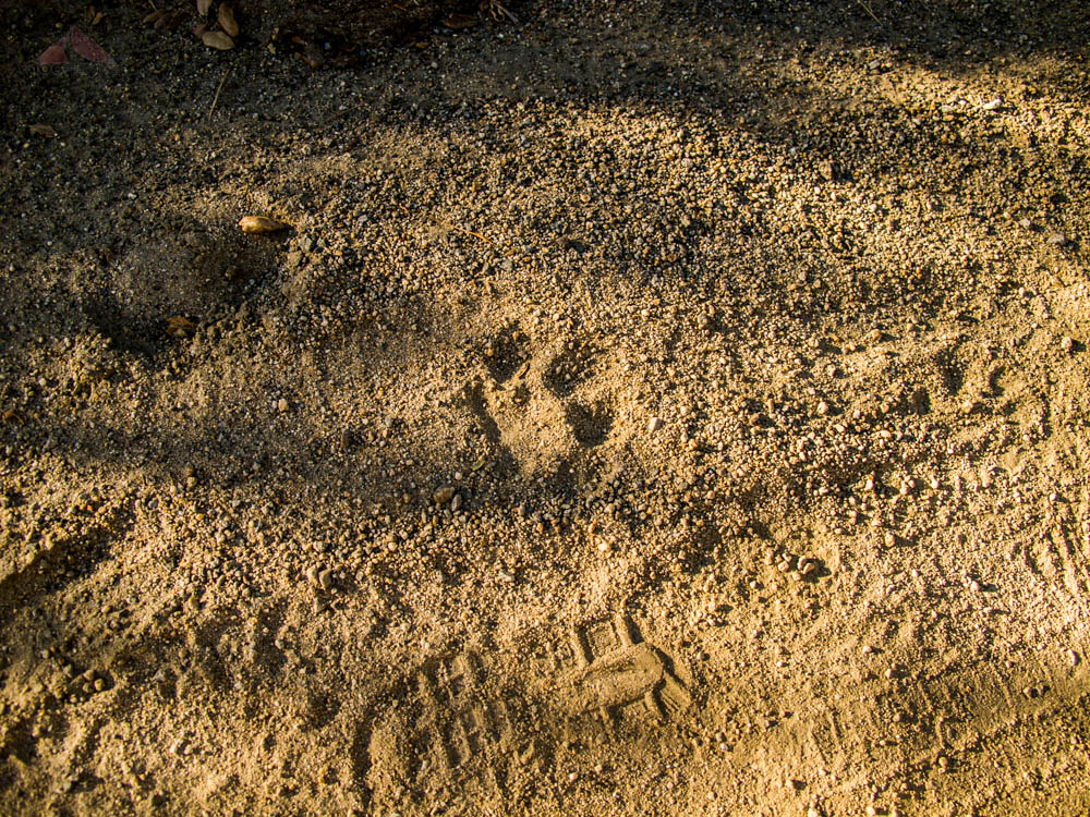 Mountain Lion track on Boulder Creek Road