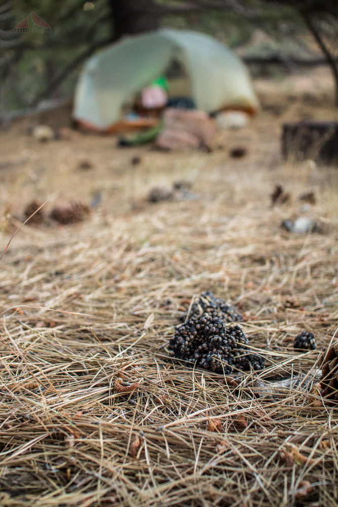 Bear scat near our tent